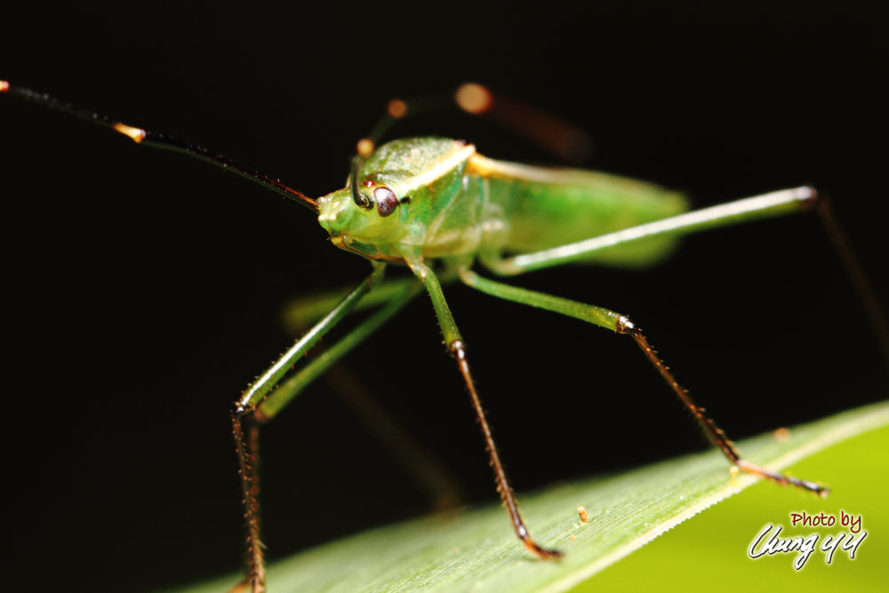 Photo in Macro #canon eos 550d #canon ef 100mm f2.8l is usm #禾蛛緣椿象 #alydidae #paddy bug #緣椿象 #cyy4993
