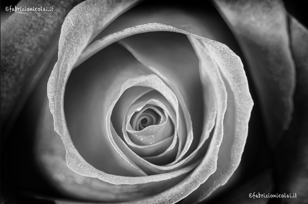 Photo in Black and White #black and white #rose