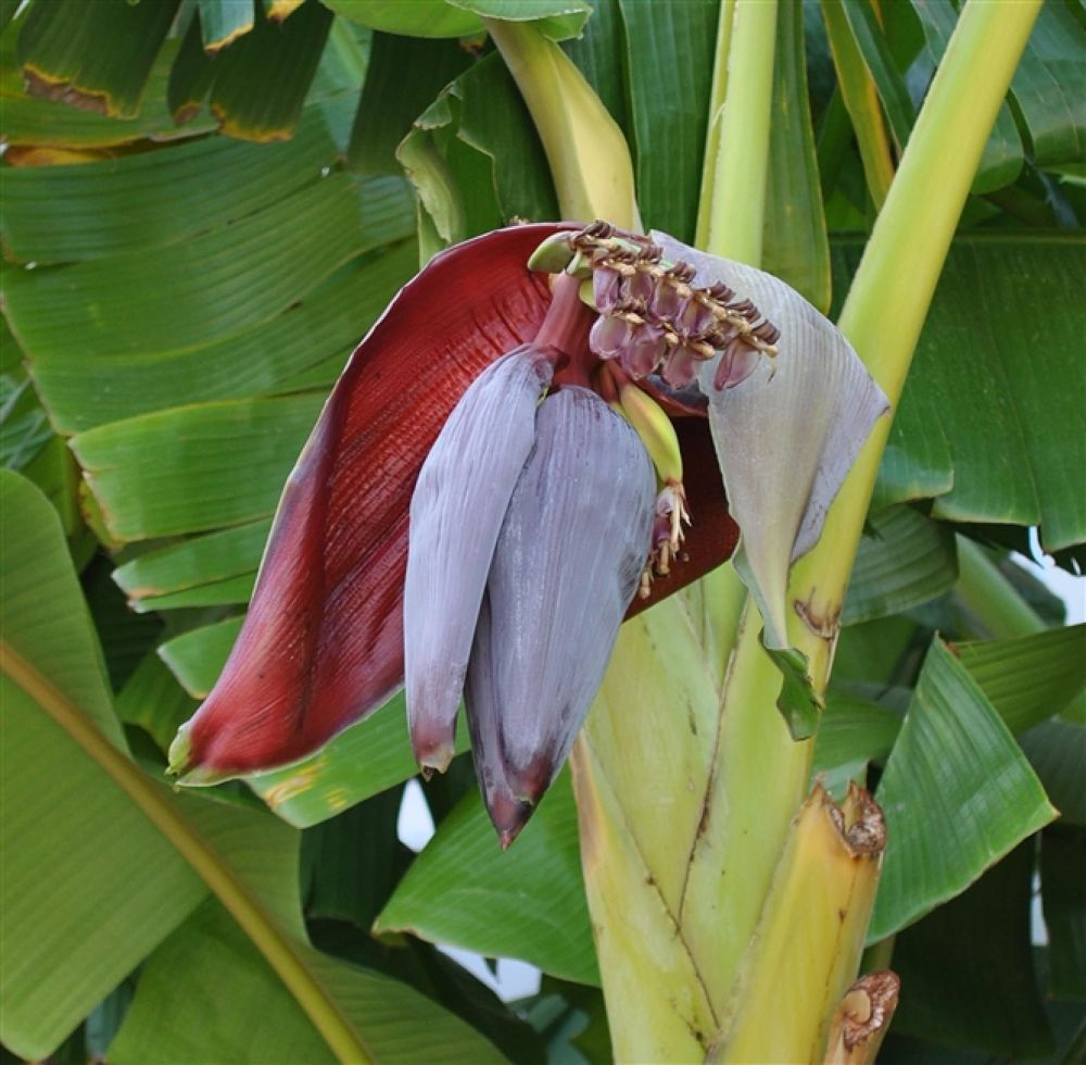 Photo in Random #bananaflower