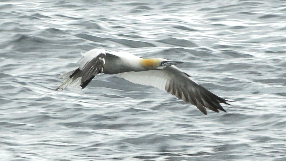 Photo in Random #gannet