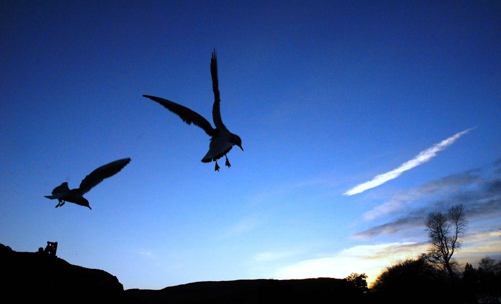 Terns in flight. by gordon veitch