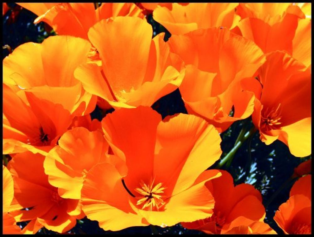 Photo in Nature #flowers #poppies
