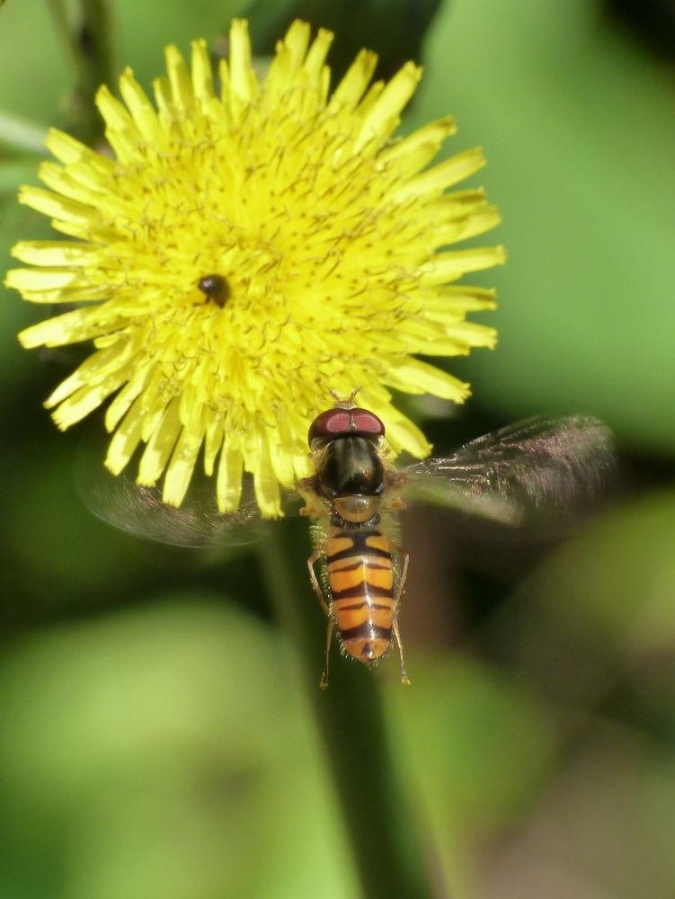 Photo in Random #syrfidae #episyrphus balteatus #macro