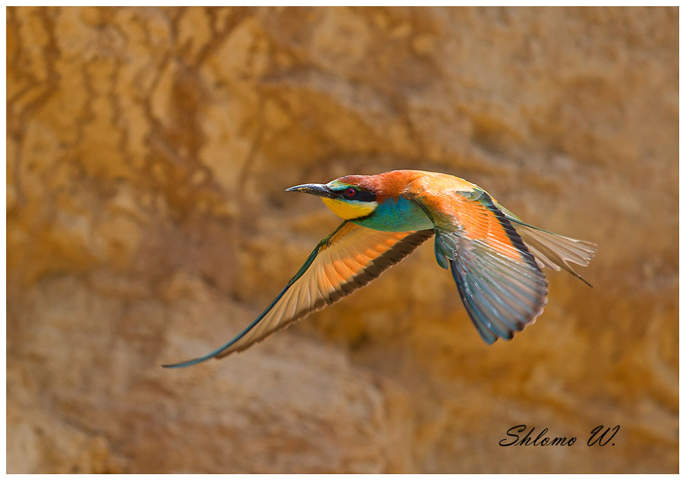 BEE-EATER by shlomow