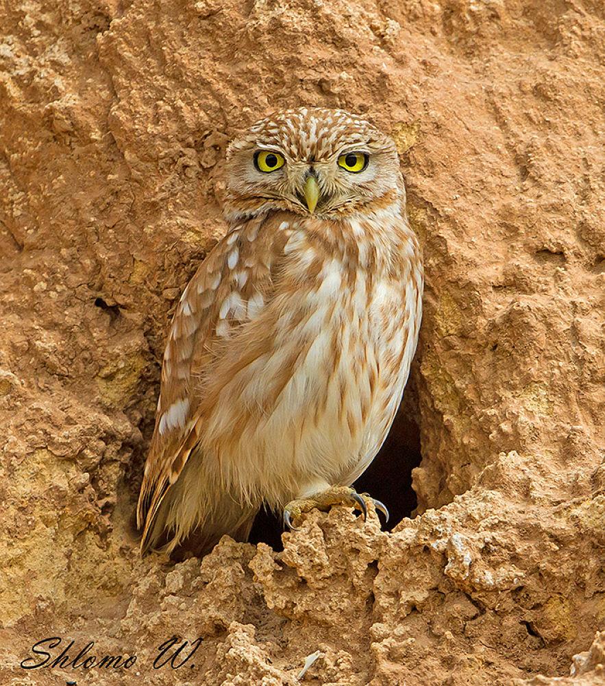 Little Owl by shlomow