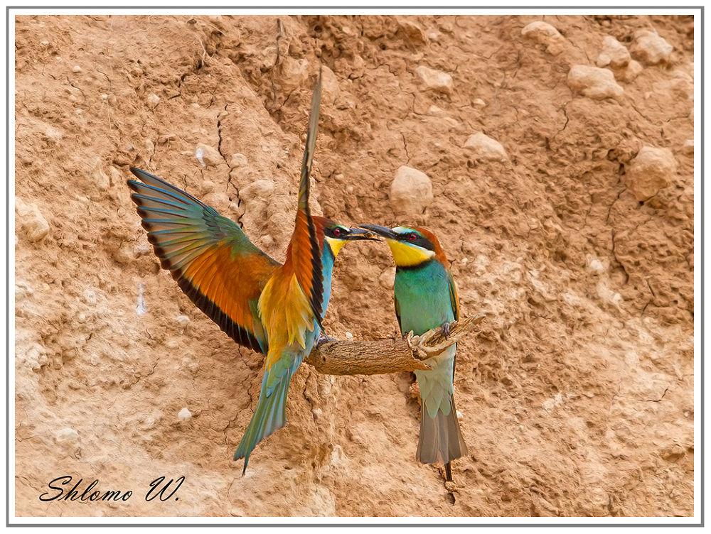 Pair of Bee-eaters by shlomow