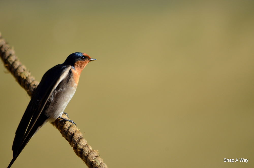 Swallow by adelway1