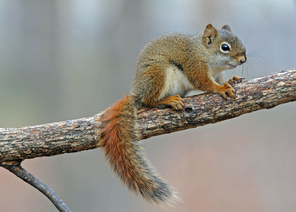 Lil Red ( American Red Squirrel) copyright William Joers  by williefromWI