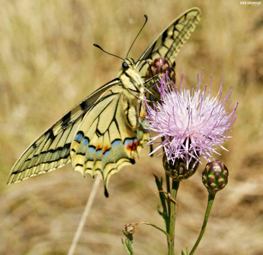 mariposa en calpe by KGfotografia