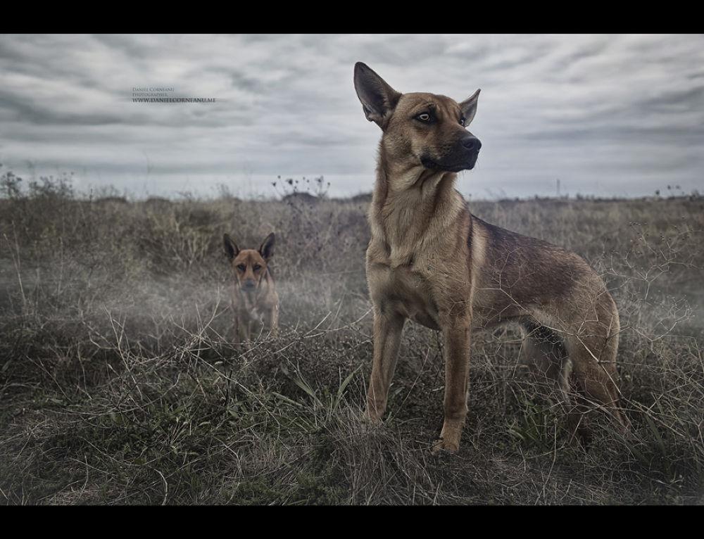 Photo in Animal #corneanu #cdaniel #dogs #red