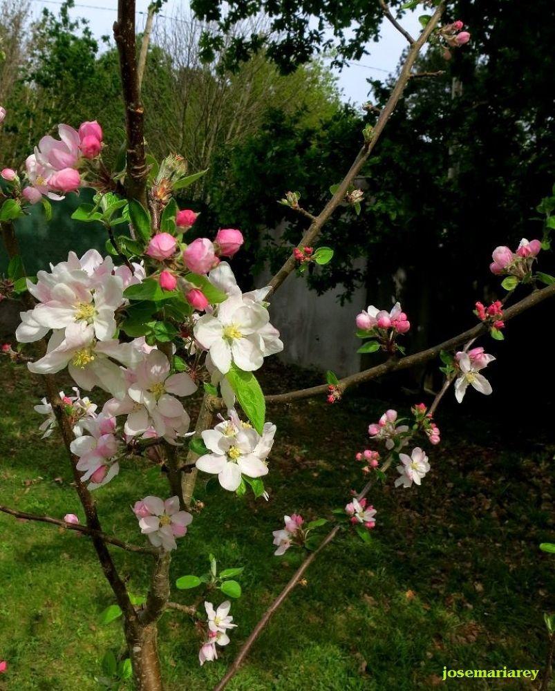 Manzano en flor by josemariareymontes