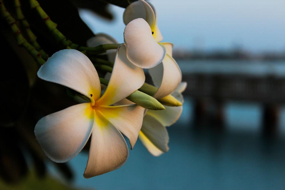 Plumeria Flowers  by Sithija De Silva