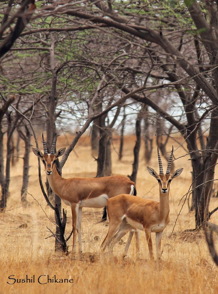 Chinkara Welcome!!! by sushilchikane