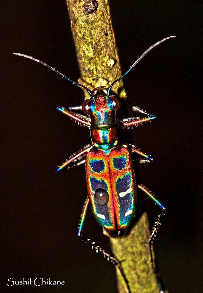 Tiger Beetle by sushilchikane