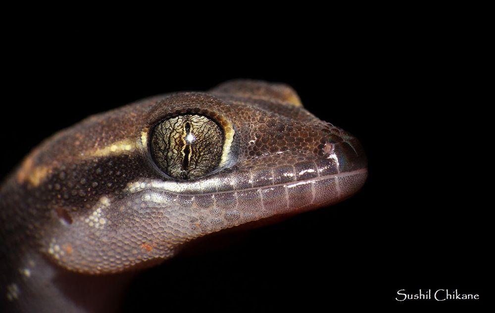Smiling gecko by sushilchikane