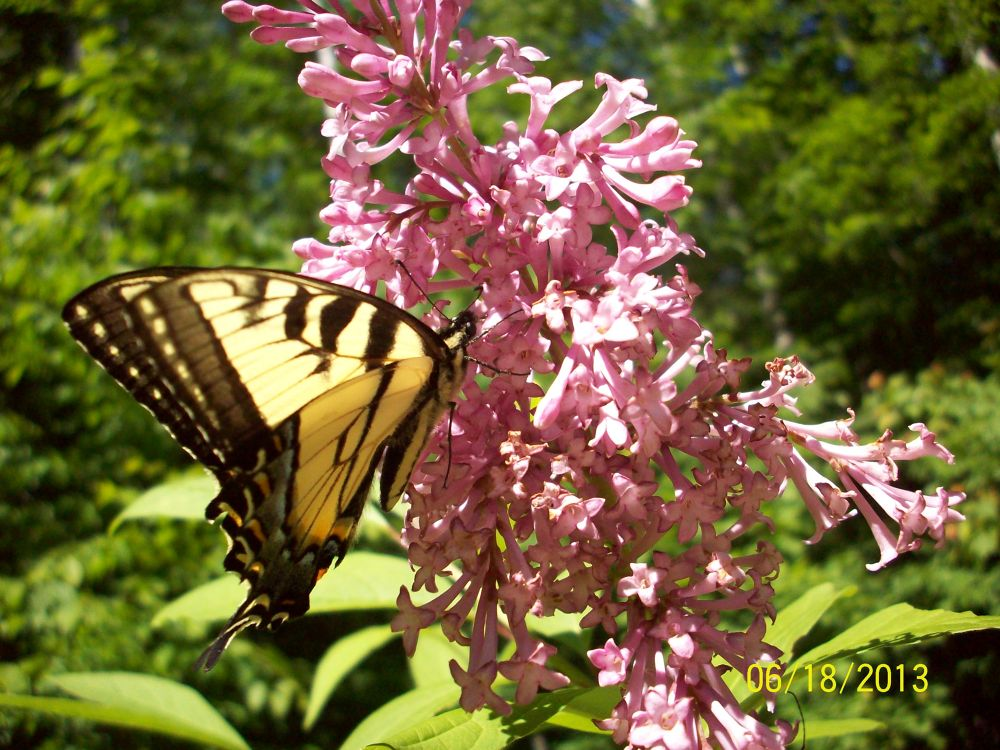 Photo in Nature #butterfly #lilac #tiger swallowtail