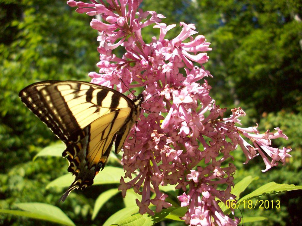 Tiger Swallowtail by Niki