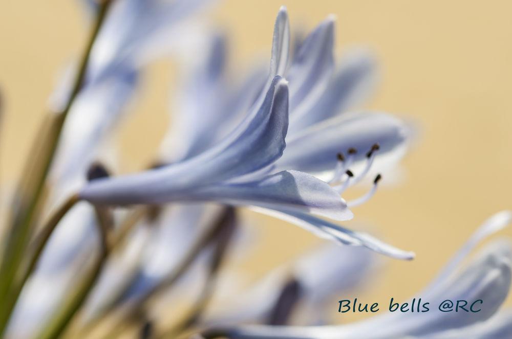 Blue bells by ruthchudaskaclemenz