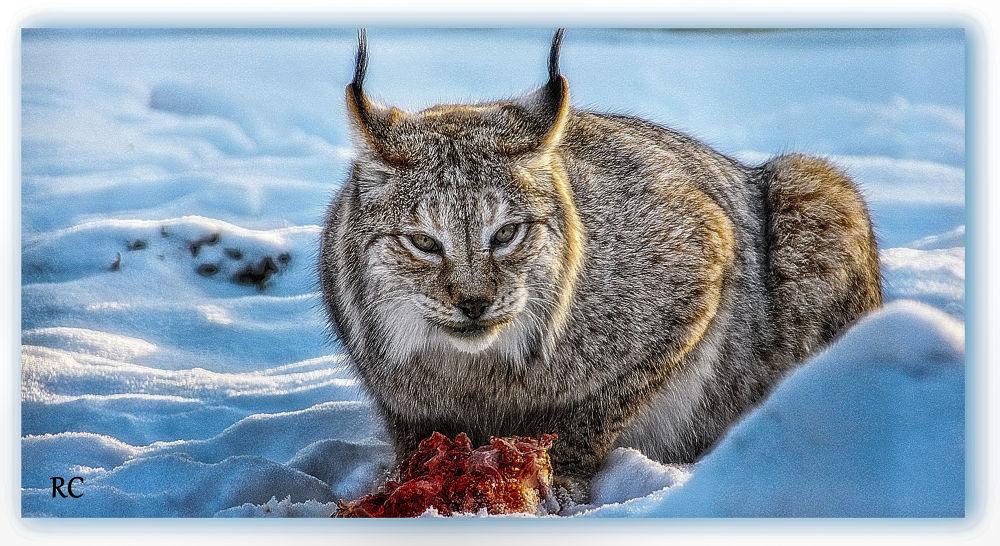 Sibirian lynx4 by ruthchudaskaclemenz