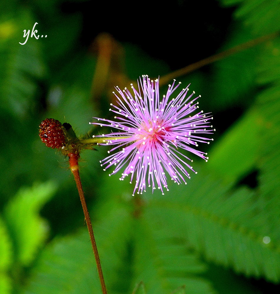 """CRYSTAL "" Mimosa plant. by Yags"