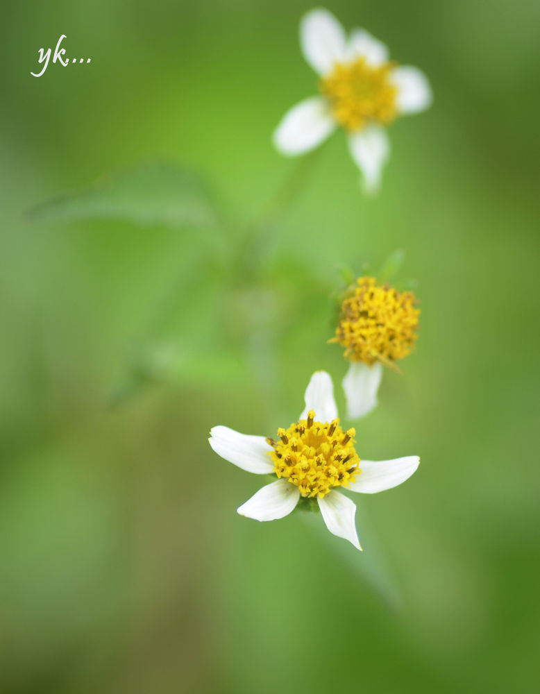 White and Yellow Flowers.  by Yags