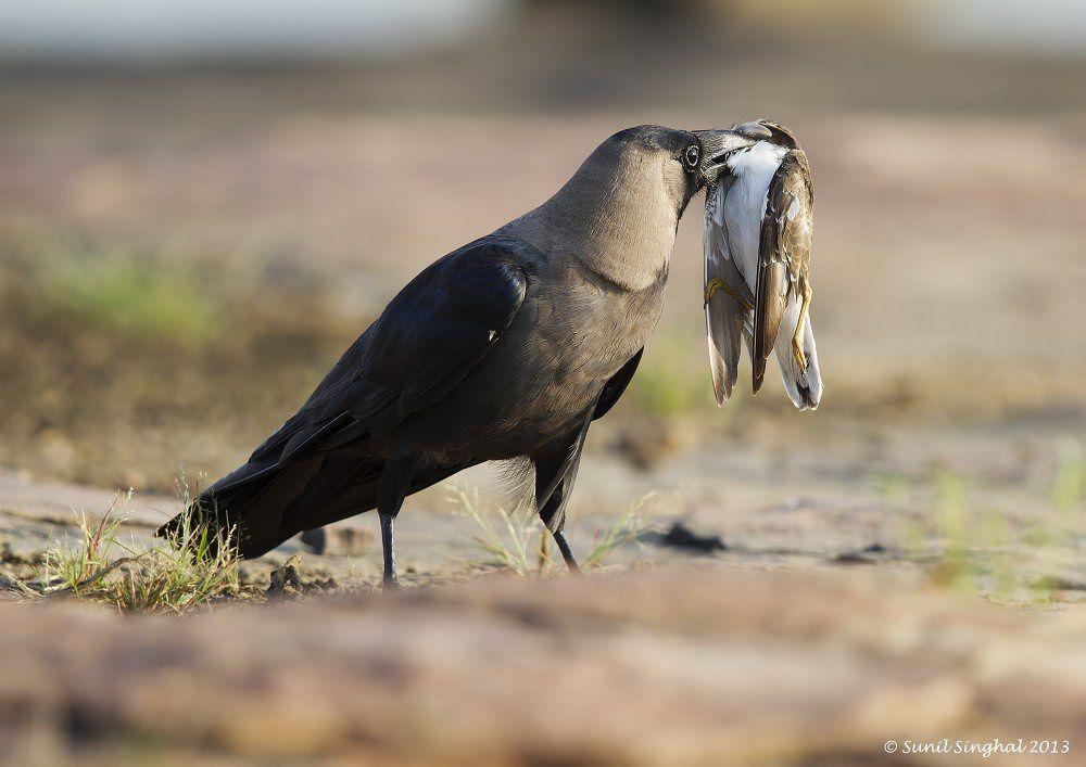 Photo in Nature #bird #kota #crow #prey