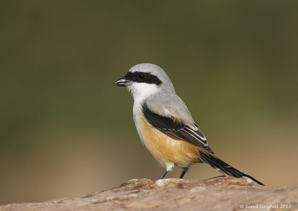 Photo in Nature #shrike #kota #bird