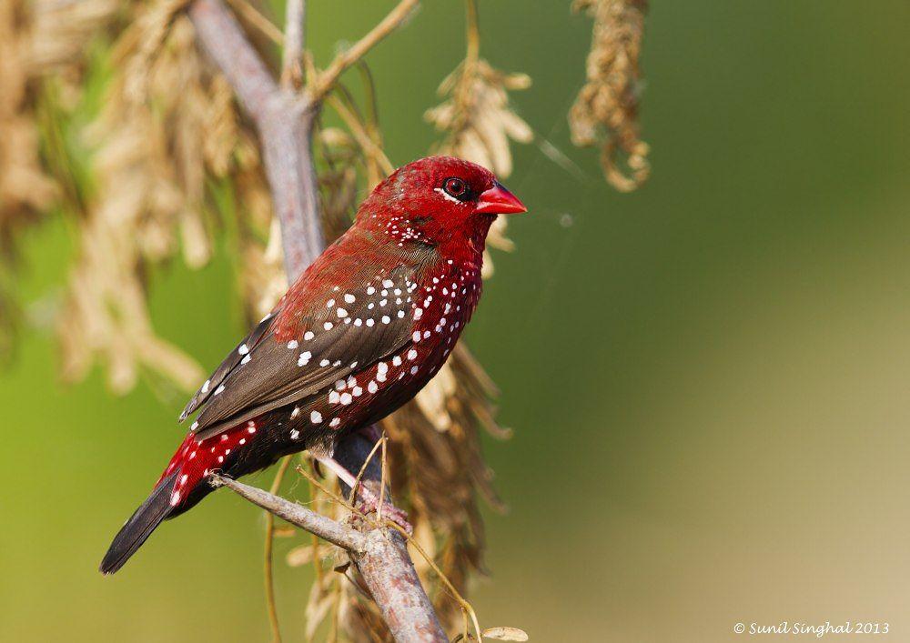 Red Avadavat -  Male in Breeding Plumage ( Amandava amandava ) by sunilsinghal