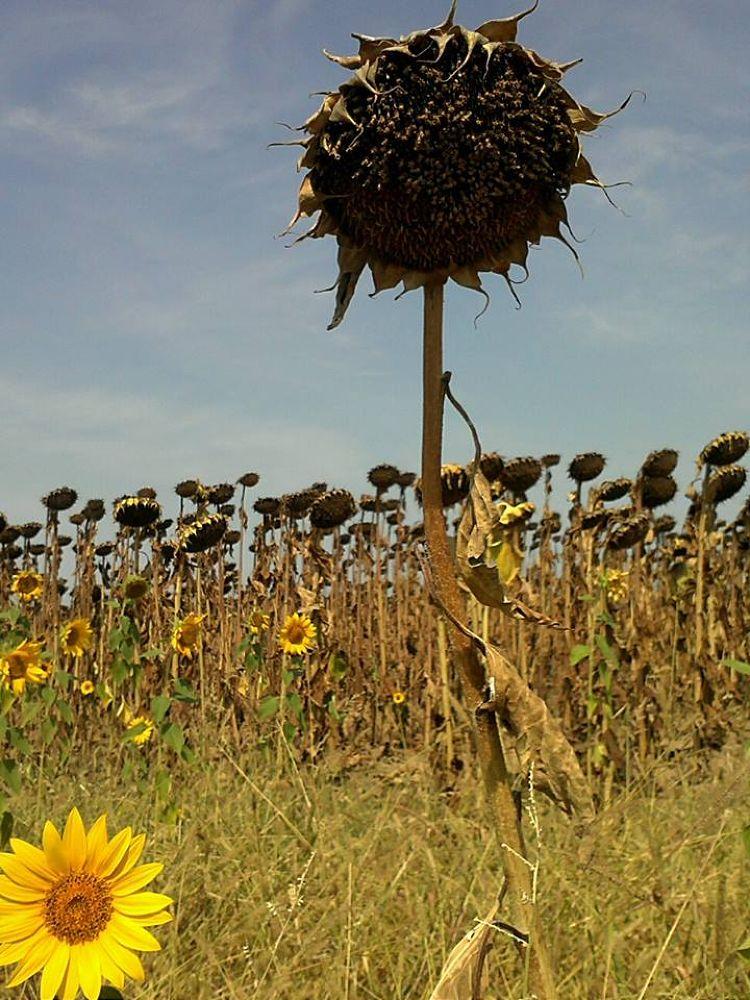 Photo in Nature #summer sunflower #autumn
