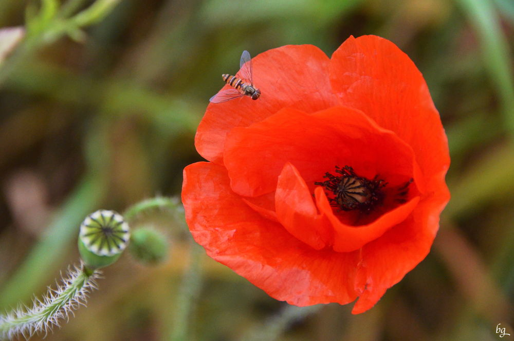 the fly on the red poppy by Bernard Guillon