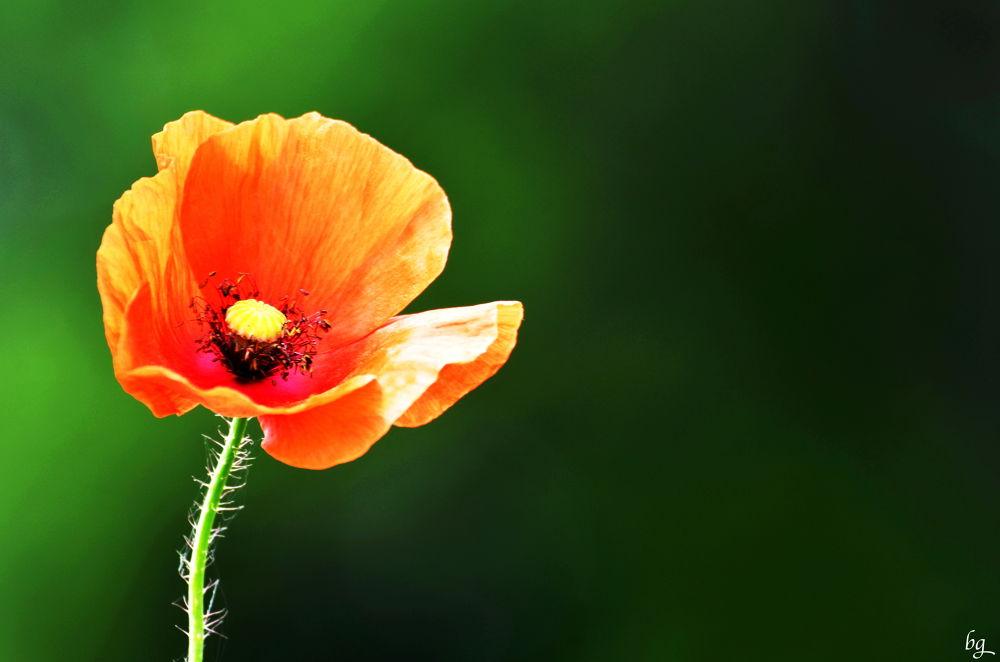 Photo in Macro #flower #coquelicot #poppy #nature #macro #rural #portrait #random