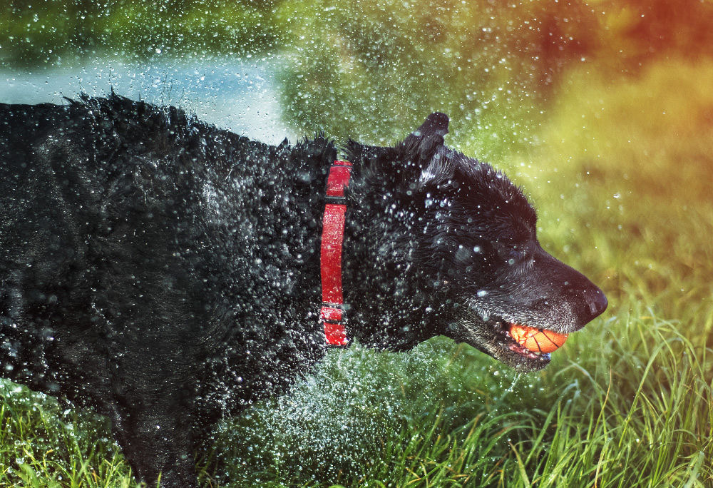 Photo in Animal #animal #chelmsford #depth of field #essex #dog #droplet #grass #shake #splash #spray #water