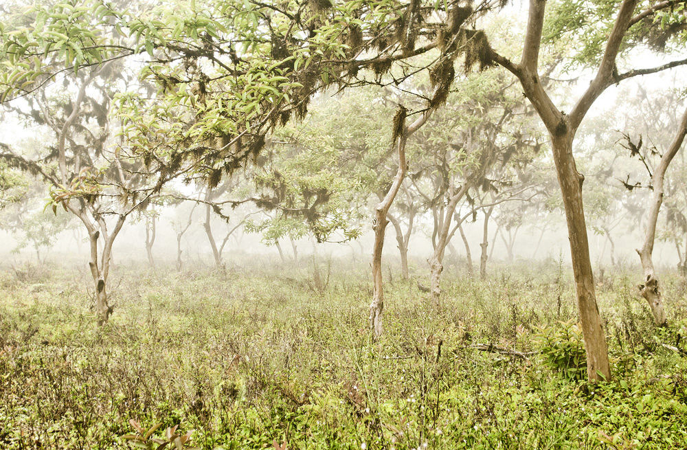 Photo in Landscape #depth of field #fog #ecuador #galapagos #isabela #mist #south america #trees #woods