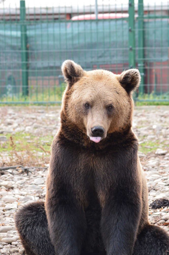 Carpathian brown bear by mihaitaolarean