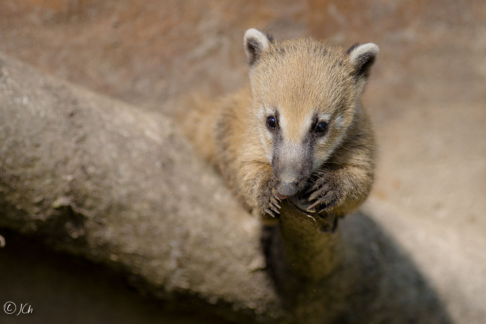 Coati (young) by JCh