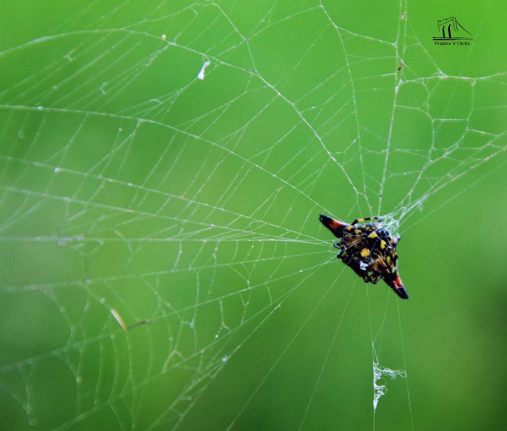 Spider by prabhuviswa