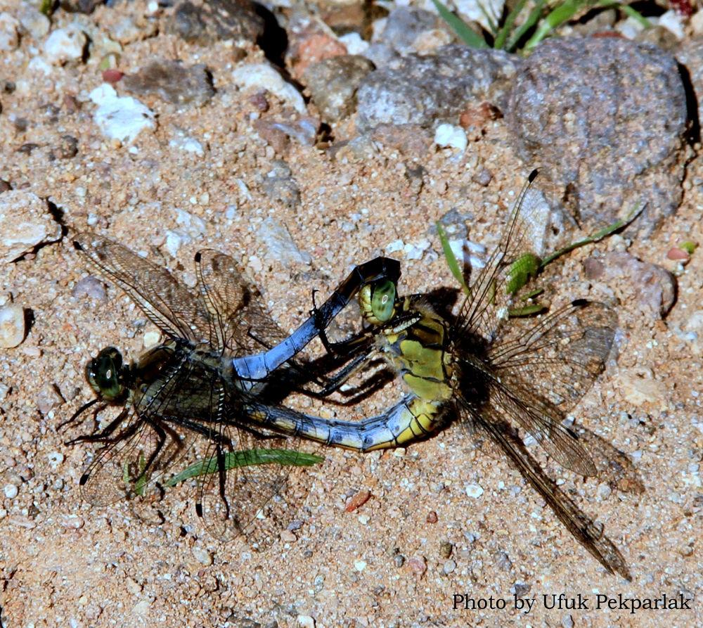 Dragonfly by ufukpekparlak