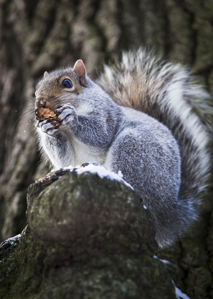 Photo in Animal #ypa2013 #squirrel #animal #usa #new york #central park #united states of america #wildlife #parklife #america #new york city #mammal #tree #winter #food #animal eating