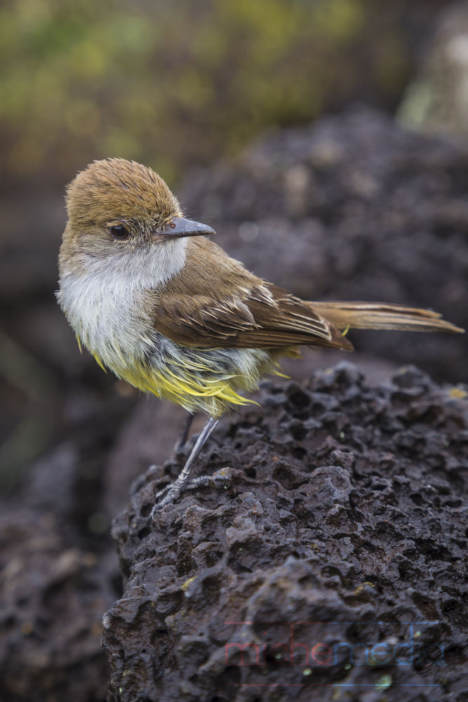 Galápagos Flycatcher by Michelle Foong