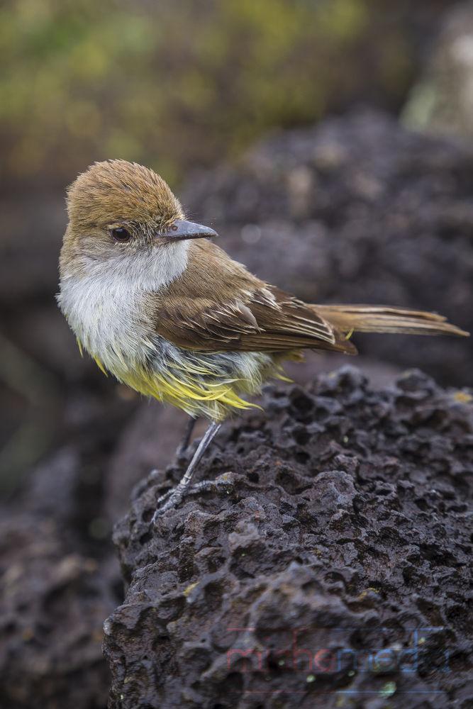Photo in Random #galápagos #galapagos #islands #ecuador #avian #bird #flycatcher #yellow bird #nature #birds #animals #wildlife #fauna #ypa2013