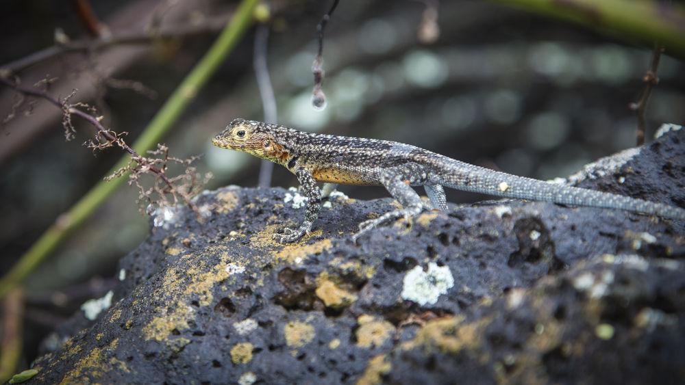 Photo in Nature #galápagos #galapagos #islands #ecuador #lizard #reptile #lava lizard #animal #fauna #animals #nature #wildlife #ypa2013 #adventure #wild