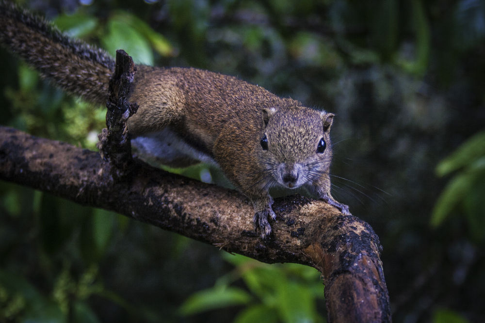 Photo in Animal #mount kinabalu #sundasciurus tenuis #slender squirrel #asia #asian #animals #animal #wildlife #squirrel #kota kinabalu #malaysia #sabah #borneo #kinabalu #ypa2013 #nature #rainforest #south east asia