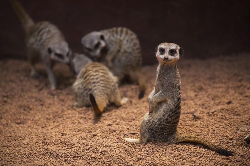 Perth Zoo Meerkat by Michelle Foong