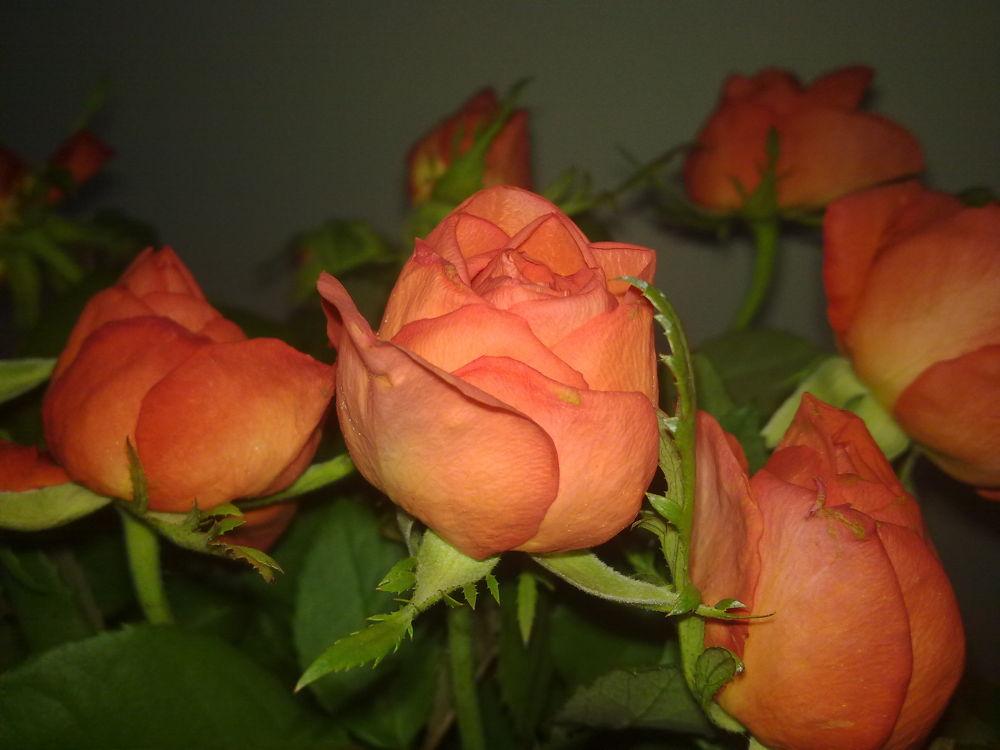 ROSE by ANightLily