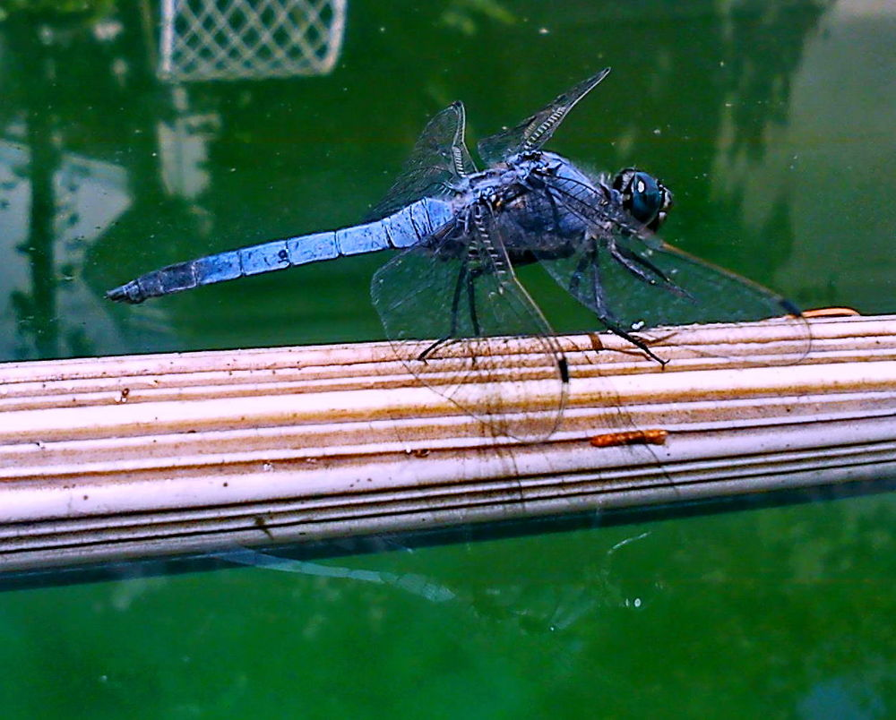 Dragonfly on water by Vafaee