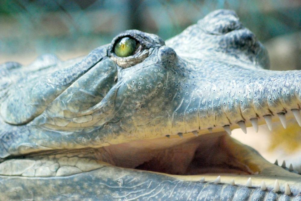gharial-eyes by harish403