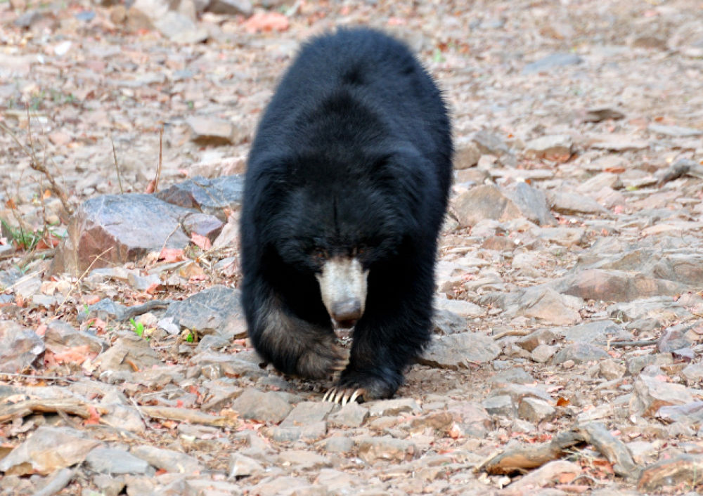 Sloth bear Eating Insects  by manjot13