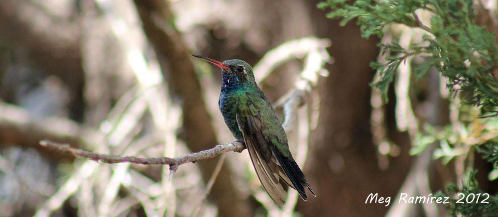colibri II by Megramirez