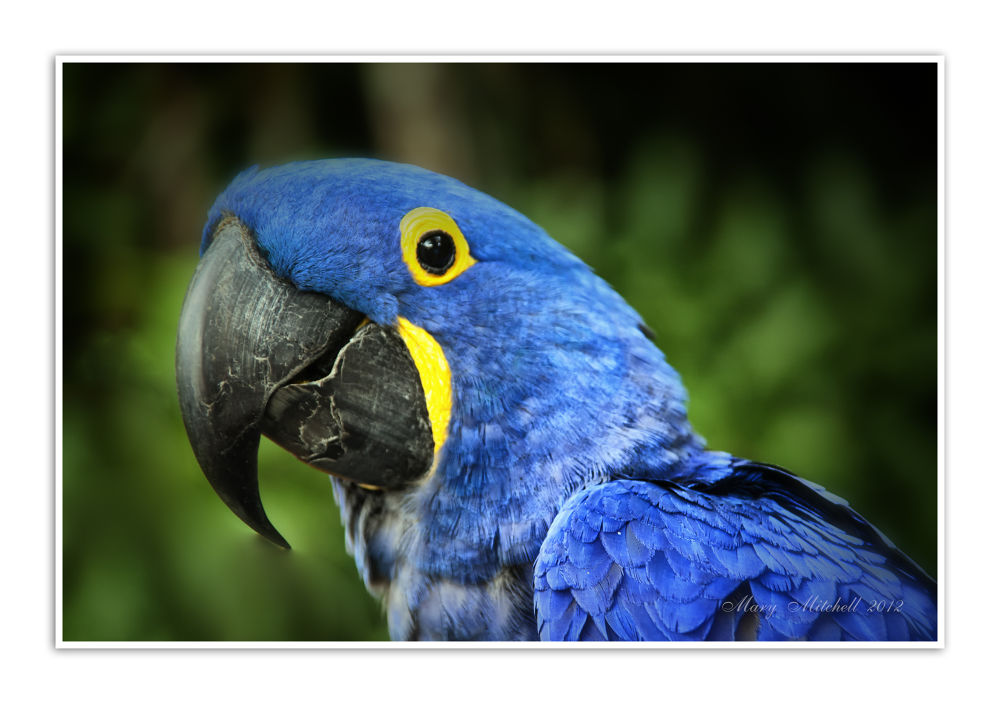 Blue Macaw Hana by Mary Mitchell