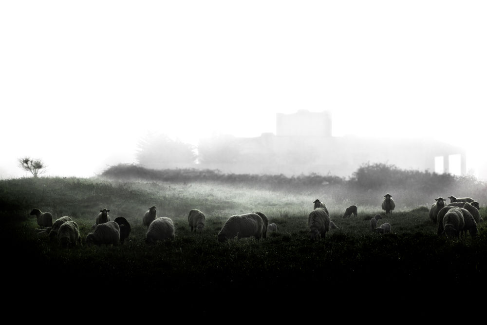 Misty sheep by Thomas Katan